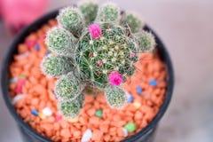 Piękny Kaktusowy kwiat z selekcyjną ostrością Zdjęcie Stock
