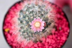 Piękny Kaktusowy kwiat z selekcyjną ostrością Obrazy Royalty Free