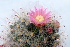 Piękny Kaktusowy kwiat z selekcyjną ostrością Zdjęcie Royalty Free