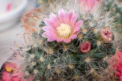 Piękny Kaktusowy kwiat z selekcyjną ostrością Fotografia Stock