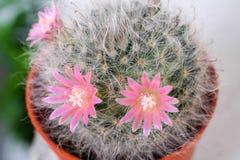 Piękny Kaktusowy kwiat z selekcyjną ostrością Fotografia Royalty Free