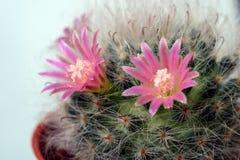 Piękny Kaktusowy kwiat z selekcyjną ostrością Obraz Royalty Free