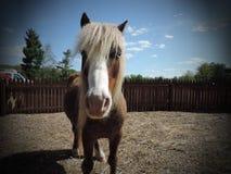 piękny koń Fotografia Stock