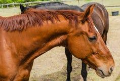 Piękny koń w paśniku Wybieg dla koni fotografia stock