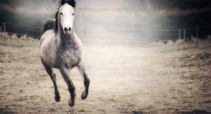 Piękny koń z białym kagana bieg na jesień paśniku Zdjęcia Royalty Free
