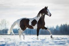Piękny koński bryk w śniegu w polu w zimie Fotografia Royalty Free