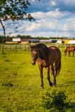 Piękny koński pasanie w bujny zieleni paśnika outdoors lata nasłonecznionym bieg obraz royalty free