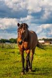 Piękny koński pasanie w bujny zieleni paśnika outdoors lata nasłonecznionym bieg obraz stock