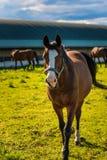 Piękny koński pasanie w bujny zieleni paśnika outdoors lata nasłonecznionym bieg w kierunku kamery obraz royalty free