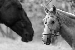Piękny koński portret przy naturą Zdjęcia Stock