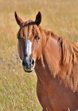 Piękny koński portret w polu Obrazy Royalty Free