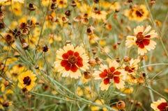 Piękny kolor żółty kwitnie w ogrodowym Maroko obrazy royalty free