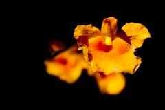 Piękny kolor żółty kwitnie w Surat Thani Tajlandia Obrazy Stock