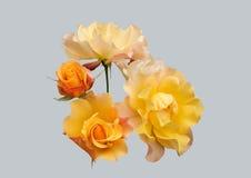 Piękny, kolor żółty róża Zdjęcia Stock