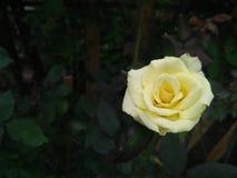 Piękny kolor żółty róży kwiat w ogródzie Zdjęcie Stock