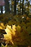 Piękny kolor żółty spadać jesień liście klonowi w świetle słonecznym jesieni lasowej jesieni naturalny krajobraz zdjęcie royalty free
