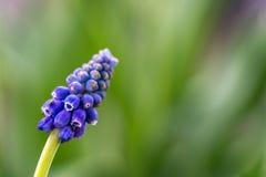 Piękny kolorowy hiacyntowy tło Fotografia Stock
