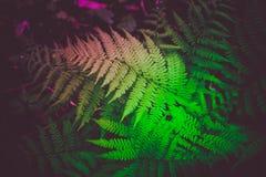Piękny kolorowy jaskrawy - zielona paproć opuszcza tło Egzot f Fotografia Stock
