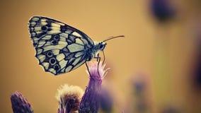 Piękny kolorowy motyli obsiadanie na kwiacie w naturze Letni dzień z słońcem outside na łące tła naturalny kolorowy Inse Zdjęcie Royalty Free