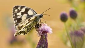 Piękny kolorowy motyli obsiadanie na kwiacie w naturze Letni dzień z słońcem outside na łące tła naturalny kolorowy Inse Obrazy Royalty Free