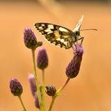 Piękny kolorowy motyli obsiadanie na kwiacie w naturze Letni dzień z słońcem outside na łące tła naturalny kolorowy Inse Zdjęcia Stock
