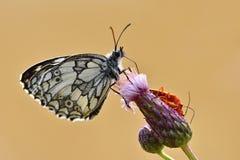 Piękny kolorowy motyli obsiadanie na kwiacie w naturze Letni dzień z słońcem outside na łące tła naturalny kolorowy Inse Zdjęcia Royalty Free