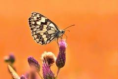 Piękny kolorowy motyli obsiadanie na kwiacie w naturze Letni dzień z słońcem outside na łące tła naturalny kolorowy Inse Zdjęcie Stock