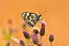 Piękny kolorowy motyli obsiadanie na kwiacie w naturze Letni dzień z słońcem outside na łące tła naturalny kolorowy Inse Obraz Royalty Free