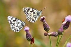 Piękny kolorowy motyli obsiadanie na kwiacie w naturze Letni dzień z słońcem outside na łące tła naturalny kolorowy Inse Fotografia Stock