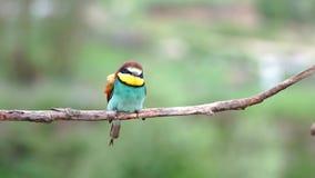 Pi?kny kolorowy ptak czy?ci pi?rka zdjęcie wideo