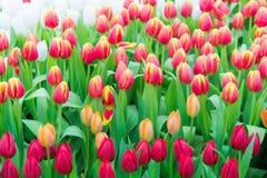 Piękny kolorowy Tulipanowy kwiat fotografia royalty free