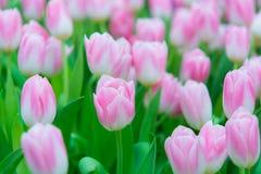 Piękny kolorowy Tulipanowy kwiat obraz royalty free