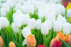 Piękny kolorowy Tulipanowy kwiat fotografia stock