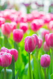 Piękny kolorowy Tulipanowy kwiat zdjęcia royalty free
