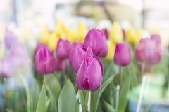 Piękny Kolorowy Tulipanowy kwiatu ogród, selekcyjna ostrość Zdjęcie Stock