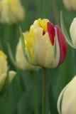Piękny koloru żółtego i czerwieni tulipanu pączek obraz royalty free