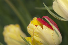 Piękny koloru żółtego i czerwieni tulipanu pączek zdjęcia royalty free