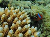 Piękny koral na Południowej Pacyfik rafie z błazen ryba obrazy stock