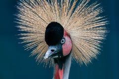 Piękny koronowany dźwigowy Balearica pavonina zdjęcie stock