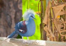 Piękny Koronowany Gołębi ptak (Goura cristata) zdjęcie stock
