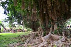 Piękny korzeń drzewo Zdjęcia Royalty Free