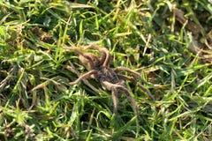 Piękny kosmaty pająk fotografia royalty free