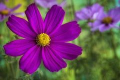 Piękny kosmosu kwiat zdjęcia royalty free