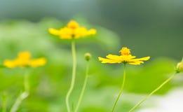 piękny kosmosu kwiatu kolor żółty zdjęcie royalty free