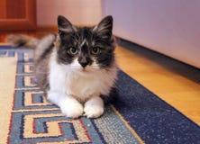 piękny kot obrazy royalty free