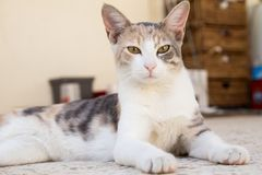Piękny kot gapi się przy kamera obiektywem obraz royalty free