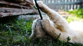 Piękny kot kłama w trawie i nadgryza kij w górę, zwolnione tempo zbiory