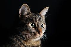 piękny kot odizolowywający kagana portret Zdjęcie Royalty Free