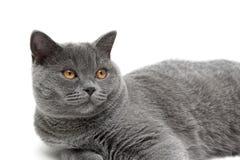 Piękny kot z żółtymi oczami zamyka up na białym tle Obraz Royalty Free