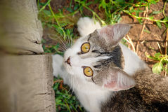 Piękny kot z dużym kolorem żółtym przygląda się obsiadanie i patrzeć kamerę przy rocznika drewnianym ogrodzeniem Zdjęcie Royalty Free